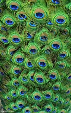 Earth song — Peacock and Macaw Plumageby Michael—Fitzsimmons