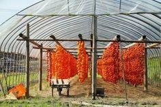 つるし柿の里~佐賀市大和町松梅地区~ : おかげさまです persimmon drying