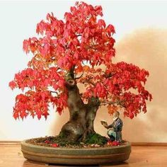 Red Maple - Acer Rubrum - 1 Pkt of 25 seeds - Ornamental Tree - Bonsai: Amazon.co.uk: Garden & Outdoors