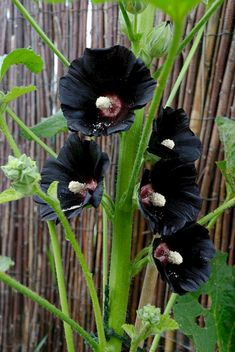 This is Awesome Black Garden, we already selected Top Black Plants and Flowers and it's will enhance your garden. Have you ever thought about adding some drama to your garden by adding plants… Dark Flowers, Exotic Flowers, Beautiful Flowers, Moon Garden, Dream Garden, All Plants, Garden Plants, Garden Design Ideas On A Budget, Gothic Garden
