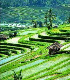 Bali, Indonesia - Jatiluwih Rice Fields
