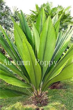 Bonsai flower seeds,Rare Potted Plant for home garden pots planters Palm Trees Landscaping, Tropical Landscaping, Tropical Garden, Tropical Plants, Palm Plant, Trees To Plant, Plant Leaves, Fruit Plants, Bonsai Plants
