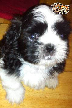 Gorgeous Toy Poodle Puppies Ash Picture 1 Puppy Love Toy