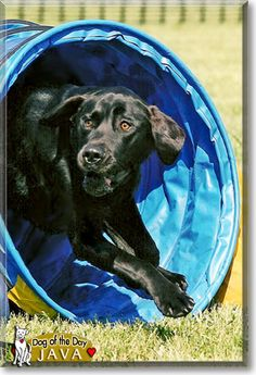 Read Java's story the Black Labrador Retriever from Burlington, Wisconsin and see her photos at Dog of the Day http://DogoftheDay.com/archive/2011/May/09.html .