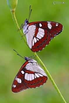~~Limenitis reducta (Staudinger 1901) Silvano azzurro Butterflies by MichymonePhoto~~