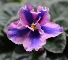 African Violet 'Eternal Orbit' the chimeric sport of Rob's Outer Orbit.  Finally opened a nice, dark richly colored flower.  Summer flowers had been more pale.