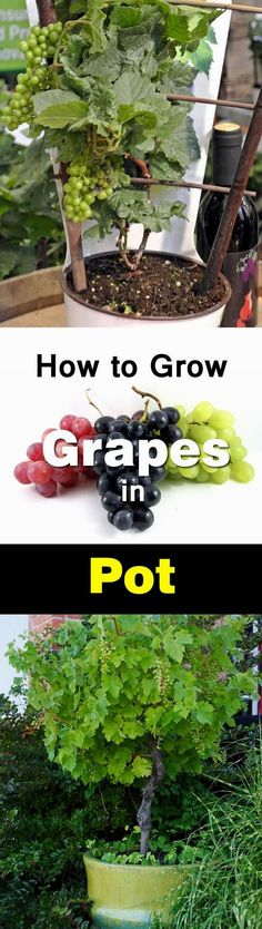 You don't need a big vineyard to grow grapes, you can do this even on your balcony in a pot. Growing grapes in containers is not very complicated though it requires slight care and maintenance. Check…MoreMore #GardeningTips