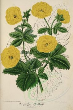 yellow_flowers-00815 - potentilla mullerii [3767x5678] commercial old pack Pictorial 1900s blooming digital ArtsCult nature 17th use 18th 1800s Artscult illustration 1700s pre-1923 engravings high ArtsCult.com craft collection art flora century supplies paintings collage nice ornaments masterpiece Edwardian lithographs Paper yellow clipart public instant beautiful pages plants free wall floral qulity decoration scrapbooking botany vintage scan royalty 300 dpi naturalist printable books…