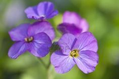 5511478-close-up-on-purple-flowers-with-green-background-can-be-used-as-background.jpg 1,200×801 pixels