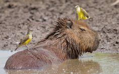 Im nahen Umland kann man Capibaras beim Baden beobachten © Christian Dimitrius