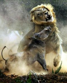 Funny pictures about A warthog and a lion in combat. Oh, and cool pics about A warthog and a lion in combat. Also, A warthog and a lion in combat. Beautiful Creatures, Animals Beautiful, Beautiful Lion, Animals And Pets, Cute Animals, Nature Animals, Elephant Park, Nature Sauvage, Tier Fotos