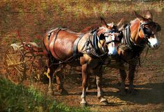 Google Image Result for http://images.fineartamerica.com/images-medium/working-mules-sue-alden.jpg