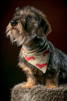 Jeffrey the wire-haired dachshund looks super handsome wearing a Mutts & Hounds Bandana!