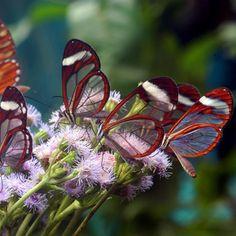 An Expert favorite via Aguila de Osa Inn on the Osa Peninsula #costarica #nature #butterflies