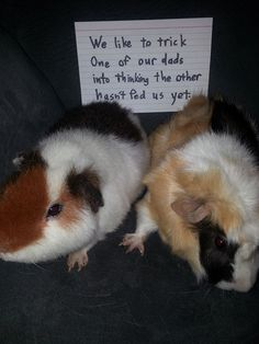 Main Reasons Why You Should Adopt A Guinea Pig. Photo by photon_de Guinea Pigs, like other animals that are adopted as pets, need new homes for all different kinds of reasons, and normally it is not due Baby Guinea Pigs, Guinea Pig Toys, Guinea Pig Care, Cat Toys, Funny Animal Memes, Funny Animals, Cute Animals, Animal Funnies, Guinea Pig Breeding
