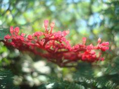 Vermelho.  Bosque da Barra - Rio de Janeiro