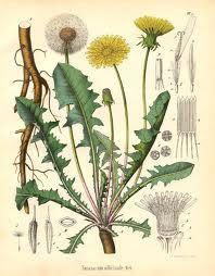Løvetann - taraxacum officinale - edible leaves+flowers+roots