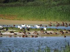 a group of bird in river
