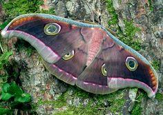 Tussore Silk Moth (Antheraea mylitta), family Saturniidae, India