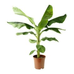 Image result for banana plant