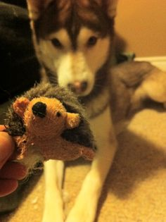 My 3 y/o husky Cashes. Steals the cats toys and like a good mom ... I LET HIM RIP IT TO SHREDS IN FRONT OF MOE! Serves em right for random 4am meows lol