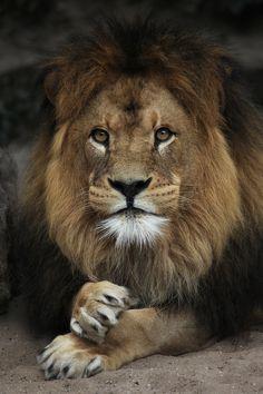 Lion by Paco de la Luz / 500px