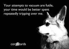 corgi funny ahhhaha every corgi I know attacks the Vacuum ...........click here to find out more http://googydog.com