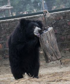 This is 'Gail' bear... and he's slurping honey from the honey log! Honey logs are one of the many enrichments provided for bears at our rescue centres