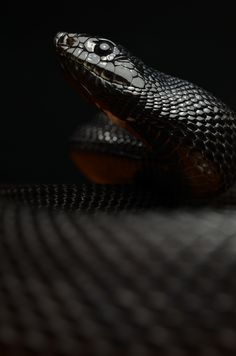 Black Pine Snake By Mehelya