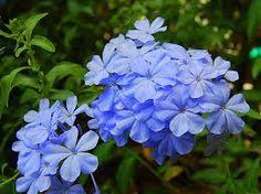 periwinkle flower - Google Search