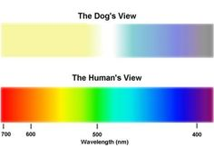 Perro sentido de la vista comparado con humanos
