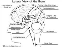 lateral view of the brain labeled - Google Search