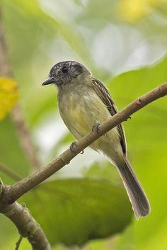 Leptopogon superciliaris - Slaty-capped Flycatcher - Orejero Coronigrís…