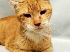 SNOOPY – A1125505  NEUTERED MALE, ORG TABBY, 7 yrs,  Reason OWN EVICT – Super Urgent Shelter Cats  These animals are either high risk, injured or have previously appeared on the To Be Destroyed list and survived. They are in danger of being on the list again or destroyed without any further notice.