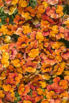 Proven Winners brand BloodOrange Nemesia - Handle cool weather and heat. Must have good drainage; plant in containers. Part sun to sun.Plant with purple sweet potato vine (Margarita)