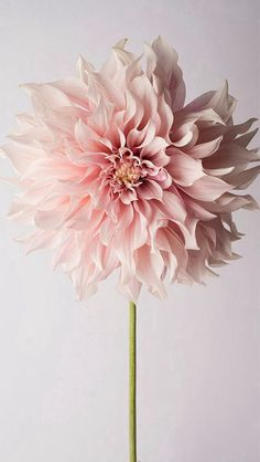 Flower Photography - Floral Still Life Photography, Pink Dahlia, Cafe au Lait…