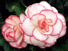 begonia for deep thoughts Life Is Beautiful, Beautiful Gardens, Beautiful Gifts, Beautiful Things, Begonia, Flowers Nature, Botanical Gardens, Outdoor Gardens, Flower Power