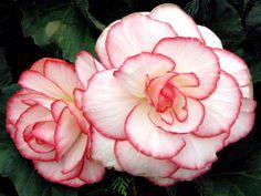 Begonia.. Scarlet ones?? Carla Graves