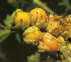 cherry fruit do cashews come from a fruit