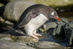Gentoo Penguin, Cute Penguins, Antarctica, Madness, Cute Animals, Wildlife, Pictures, Pretty Animals, Photos