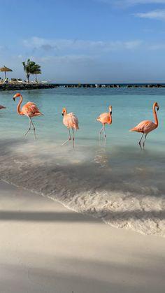 Flamingo beach at Renaissance private island in Aruba. Beautiful Photos Of Nature, Beautiful Nature Wallpaper, Beautiful Places To Travel, Beautiful Birds, Animals Beautiful, Aruba Flamingos, Flamingo Beach Aruba, Pig Beach Bahamas, Maldives Beach