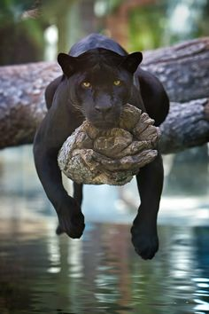 A black jaguar just chillin'