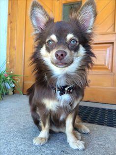 Chihuahua, Boys, Baby Boys, Chihuahua Dogs, Senior Boys, Sons, Guys, Chihuahuas, Baby Boy