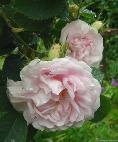 Rose 'Great Maiden's Blush'.