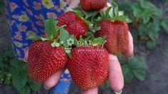 Клубника королева елизавета описание сорта и плодов