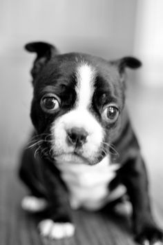 I want a puppy! Is it bad to trade in my grown Boston for a baby?