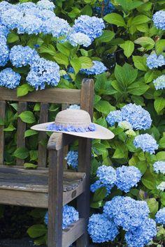 Blue hydrangea in the garden Hortensia Hydrangea, Hydrangea Bush, Hydrangea Care, Blue Hydrangea, Hydrangeas, Garden Care, My Secret Garden, Dream Garden, Garden Cottage