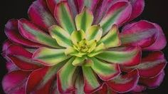 Bilderesultat for amazing succulents