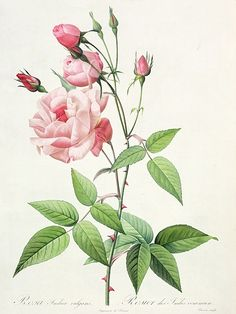 """Rosa indica vulgaris"" by Redoubte"