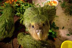There may be as few as a couple hundred kakapo in the world. Ground dwelling parrot.